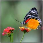 kelebek-resim