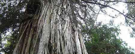 Yaşlı Ağaç